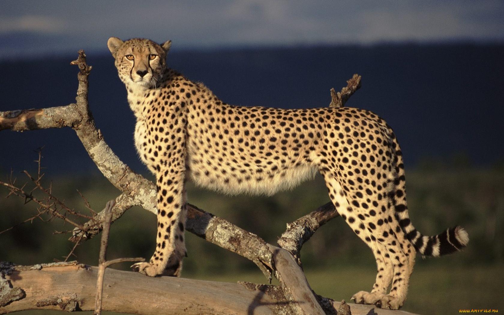 принимает большие картинки гепарда бард